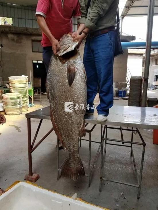 渔民捕到大鱼开价110万 鱼鳔价格堪比黄金(图)